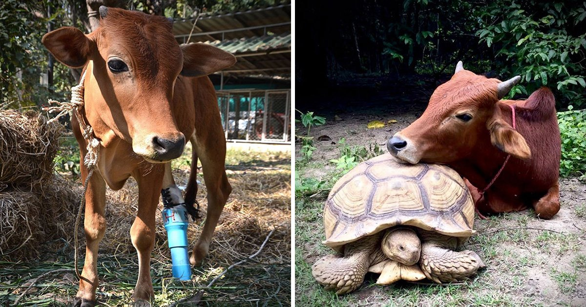 ec8db8eb84ac3 2 - Giant Tortoise And Baby Cow Who Lost Its Leg Become Best Friends, They Do Everything Together