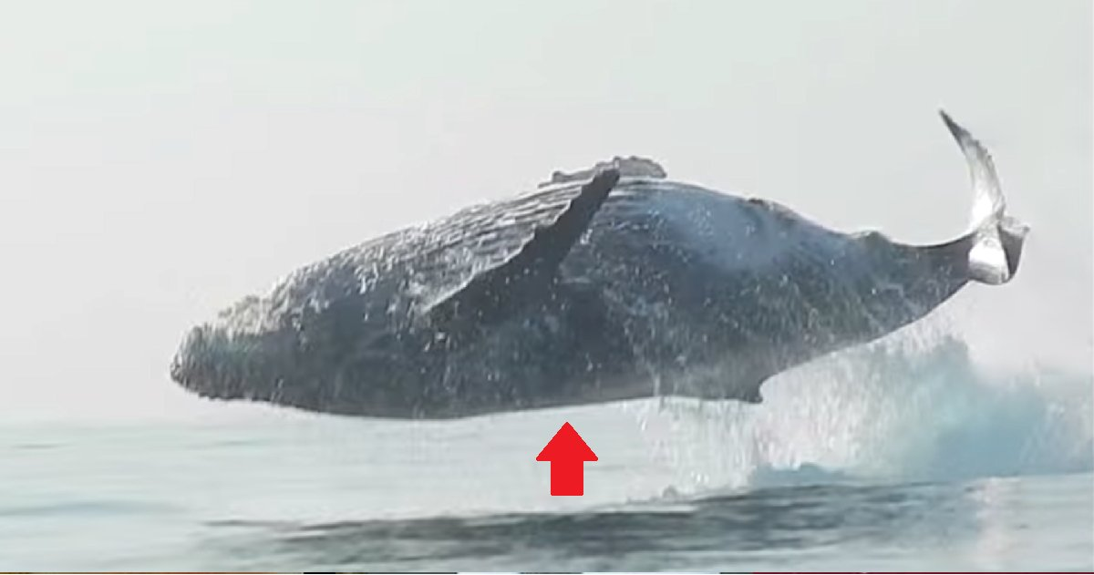 eca09cebaaa9 ec9786ec9d8c 133.png?resize=412,232 - Man Filmed The Rarest Moment A 40 Ton Humpback Whale Leapt Completely Out of Water!