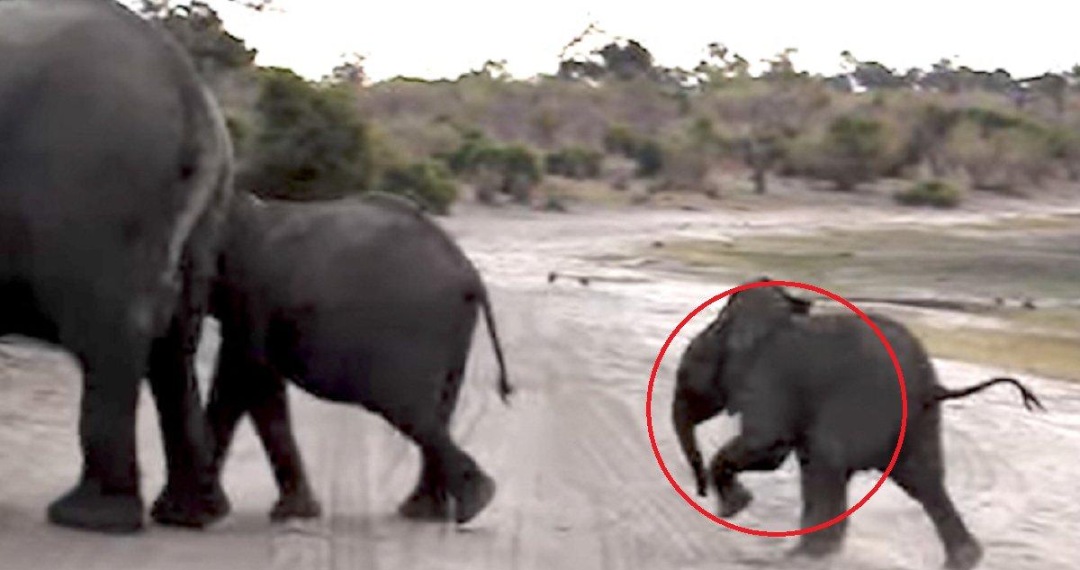 eca09cebaaa9 ec9786ec9d8c 27 - Baby Elephant Is Caught Sneezing and Scaring Himself. Video Footage Has Internet in Laughter