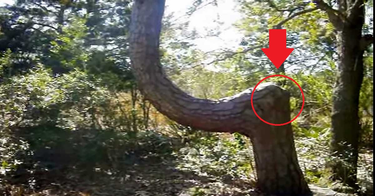 eca09cebaaa9 ec9786ec9d8c 91 - When You See A Bent Tree Like This, You Must Remember These Facts