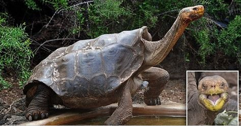 ecbaa1ecb298 15.png?resize=300,169 - Sex-Addicted Galapagos Tortoise Has Saved His Species From Extinction