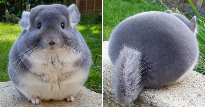 fb image 58ad891264997  700.jpg?resize=412,232 - Chinchillas With Perfectly Round and Fluffy Butts