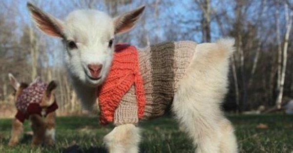goat - Baby Goats In Tiny Sweaters: The Most Heart-Melting In The World