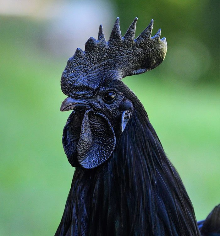 """goth black chicken ayam cemani 20 - This Rare """"Goth Chicken"""" Is 100%, Not Just Its Outside But Its Inside As Well!"""