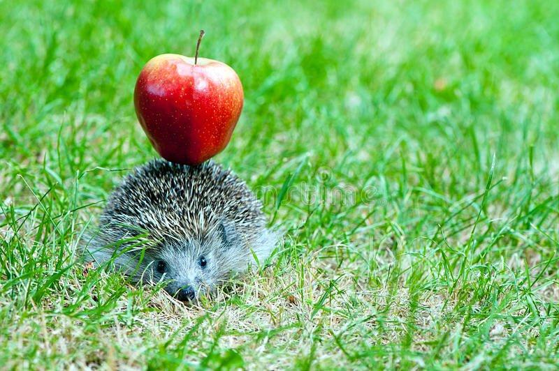 hedgehog-apple-carry-red-back-41678269