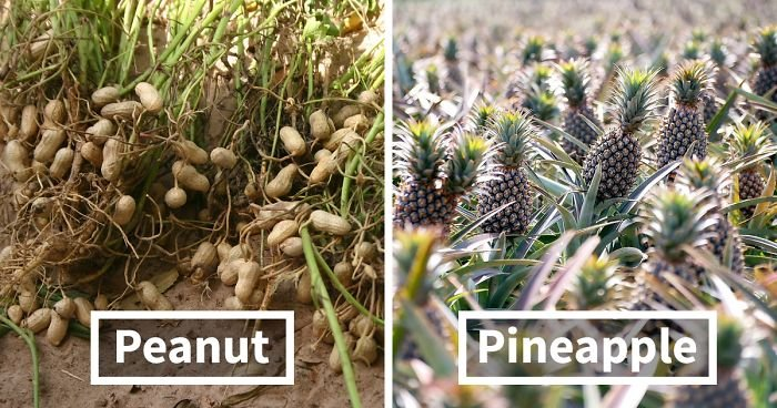 how food grow fb  700 png.jpg?resize=300,169 - 10 Astonishing Pictures That Show How Crops Are Different From Before Its Harvest