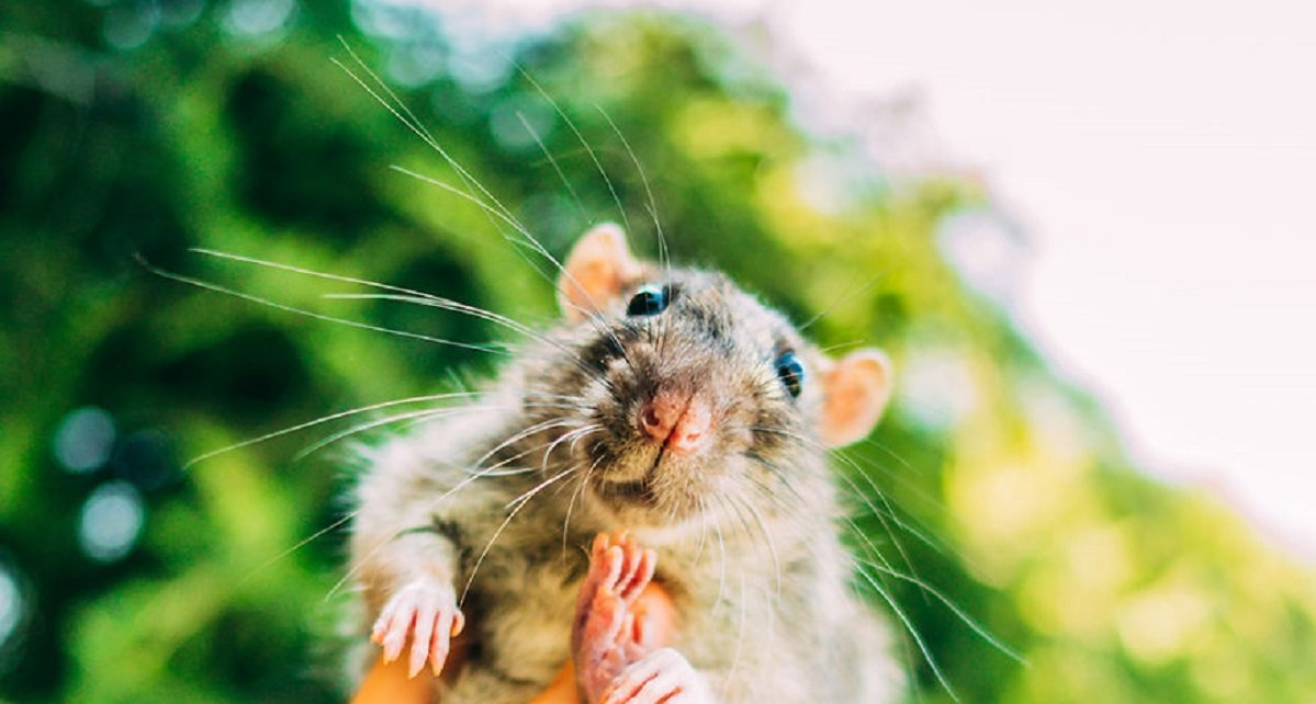 i photographed first time open air for ex lab rats and mice their faces say it all 5a05c37ea39f8  880 - Animals Used For Laboratory Experimentation Have Been Released