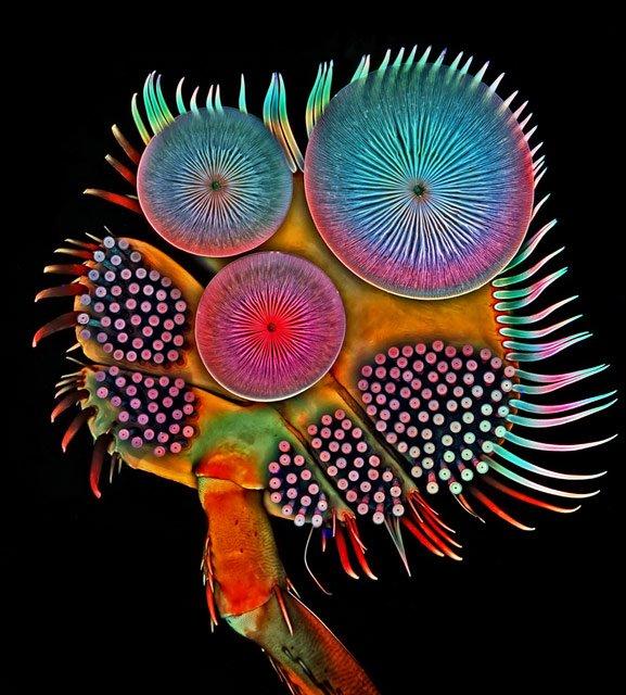 igor-siwanowicz-acilius-diving-beetle-front-tarsus