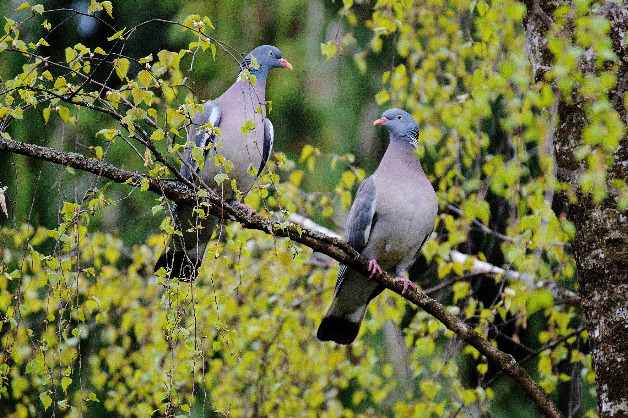 lovebirds-pair-couple-wallpaper