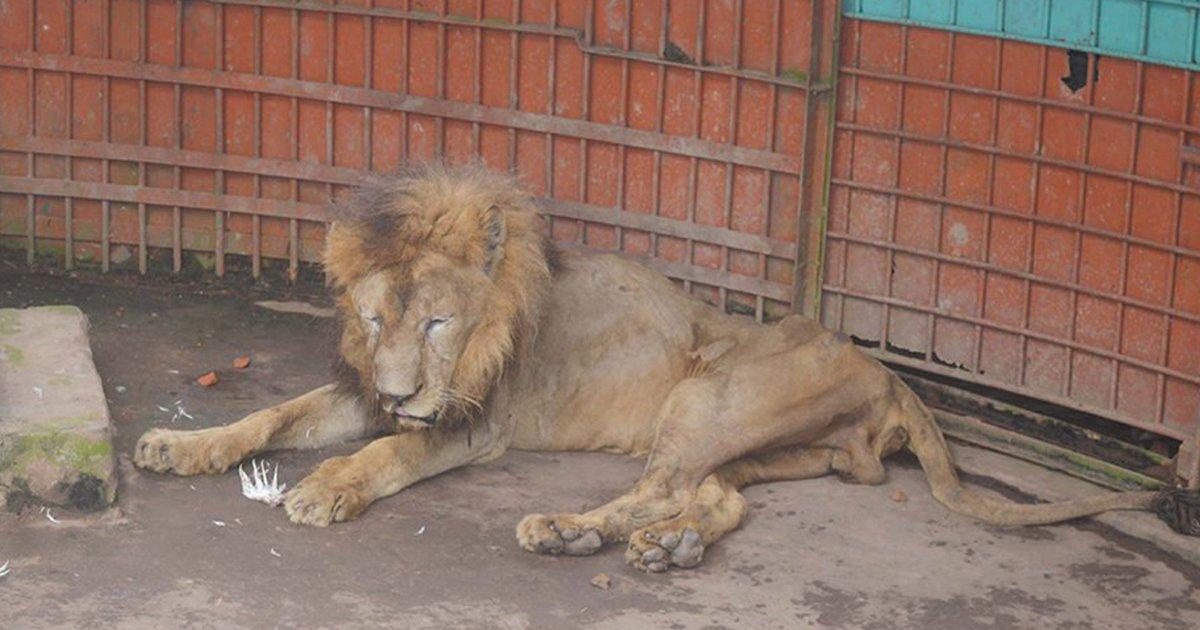 mainphoto lion.jpeg?resize=1200,630 - A l'article de la mort, ce lion continue d'être exposé dans un zoo