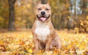 nature_autumn_animals_leaves_dogs_iron_pitbull_1920x1200-1024x640