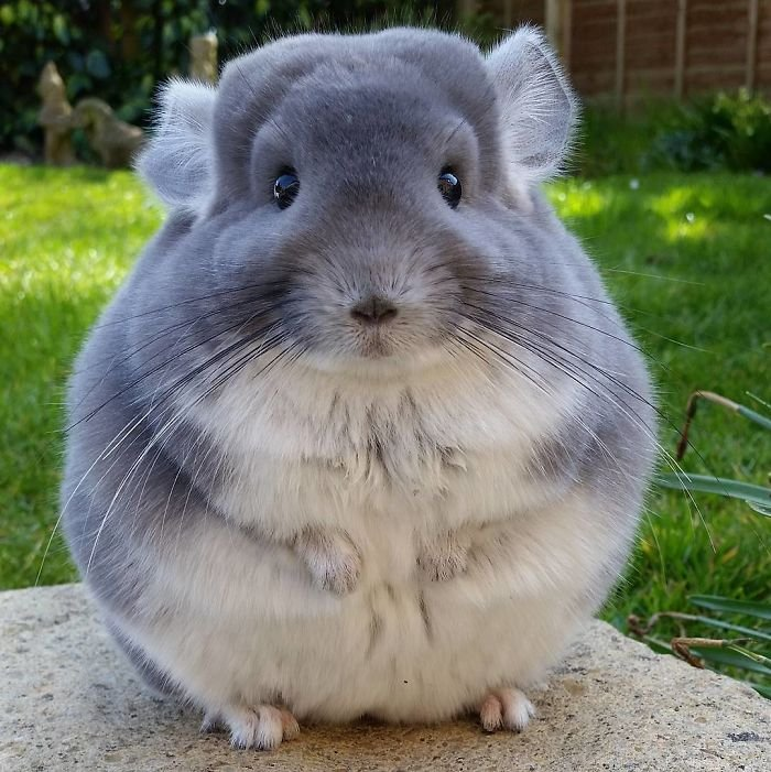 perfectly-round-chinchilla-camerons-chinchillas-15-58ad5374a8afb__700