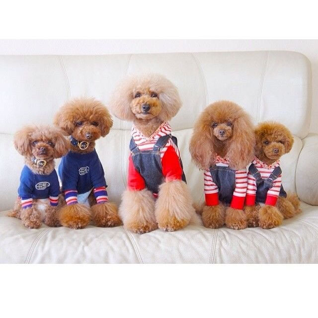 slider_11_-_the_japanese_toy_poodle_movement_that_s_revolutionizing_instagram