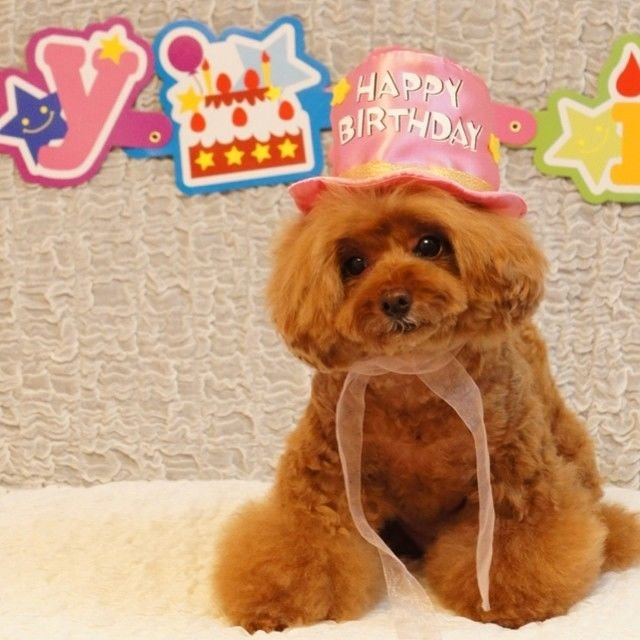 slider_12_-_the_japanese_toy_poodle_movement_that_s_revolutionizing_instagram