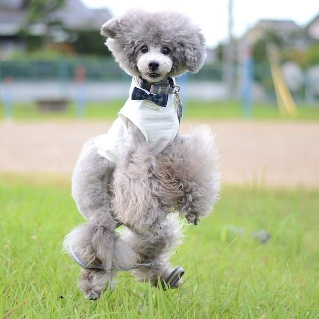 slider_19_-_the_japanese_toy_poodle_movement_that_s_revolutionizing_instagram