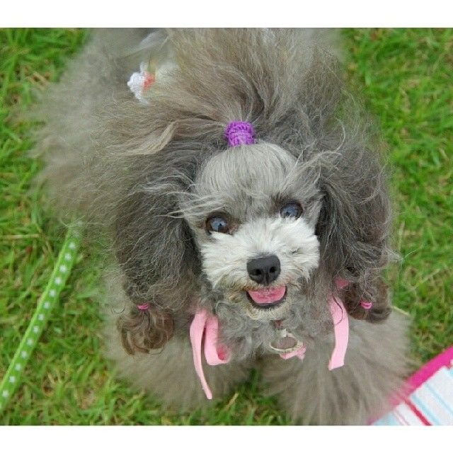 slider_1_-_the_japanese_toy_poodle_movement_that_s_revolutionizing_instagram