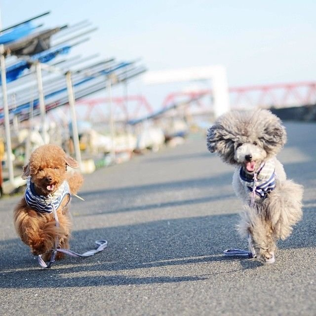 slider_20_-_the_japanese_toy_poodle_movement_that_s_revolutionizing_instagram