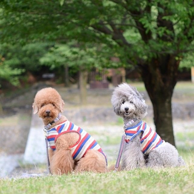 slider_21_-_the_japanese_toy_poodle_movement_that_s_revolutionizing_instagram