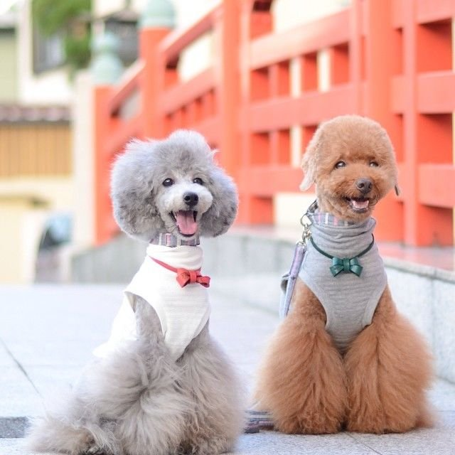 slider_22_-_the_japanese_toy_poodle_movement_that_s_revolutionizing_instagram