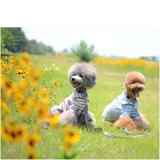 slider_23_-_the_japanese_toy_poodle_movement_that_s_revolutionizing_instagram