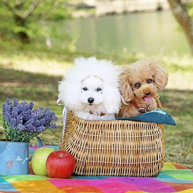 slider_25_-_the_japanese_toy_poodle_movement_that_s_revolutionizing_instagram