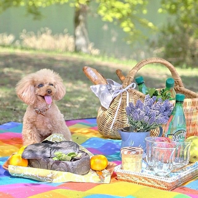 slider_26_-_the_japanese_toy_poodle_movement_that_s_revolutionizing_instagram