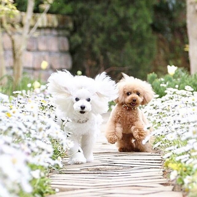 slider_28_-_the_japanese_toy_poodle_movement_that_s_revolutionizing_instagram