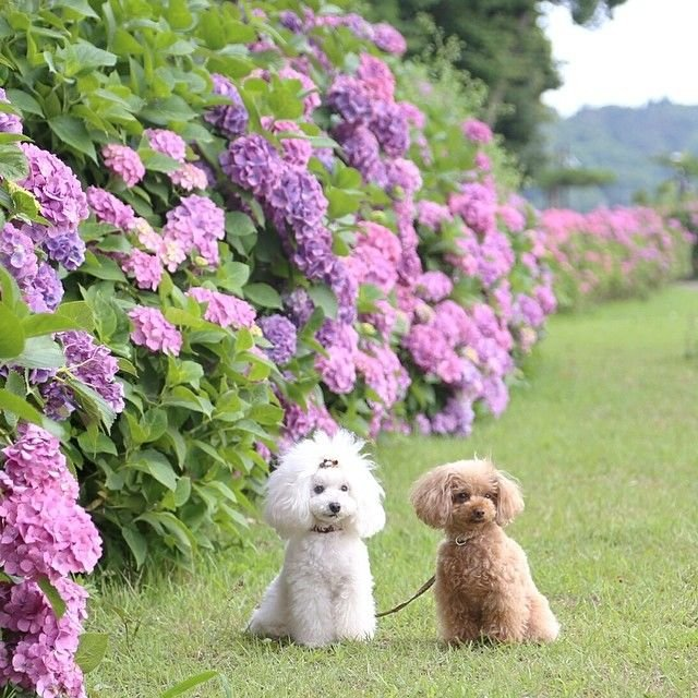 slider_29_-_the_japanese_toy_poodle_movement_that_s_revolutionizing_instagram