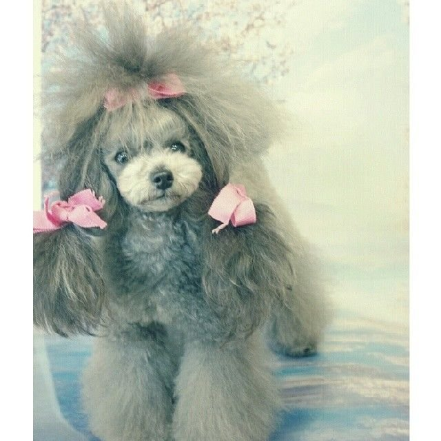 slider_2_-_the_japanese_toy_poodle_movement_that_s_revolutionizing_instagram