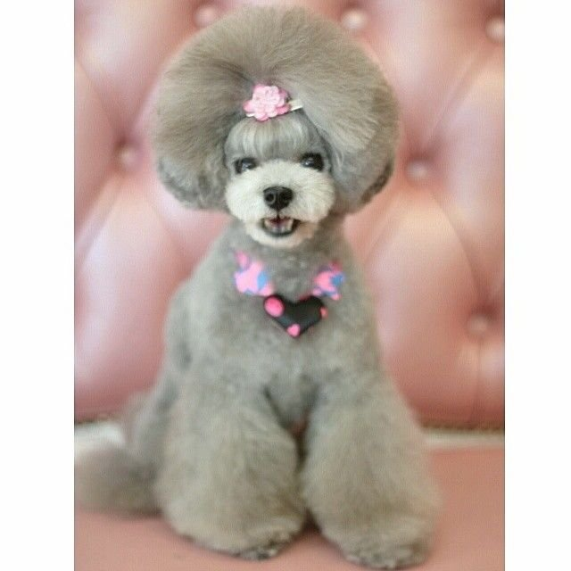 slider_3_-_the_japanese_toy_poodle_movement_that_s_revolutionizing_instagram