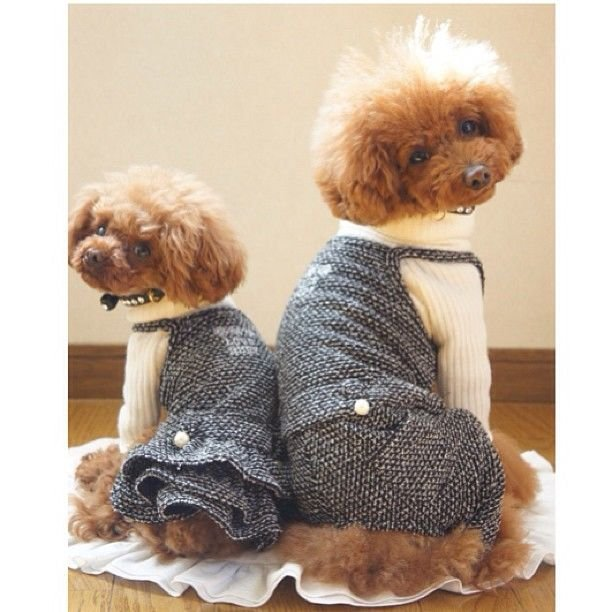 slider_7_-_the_japanese_toy_poodle_movement_that_s_revolutionizing_instagram