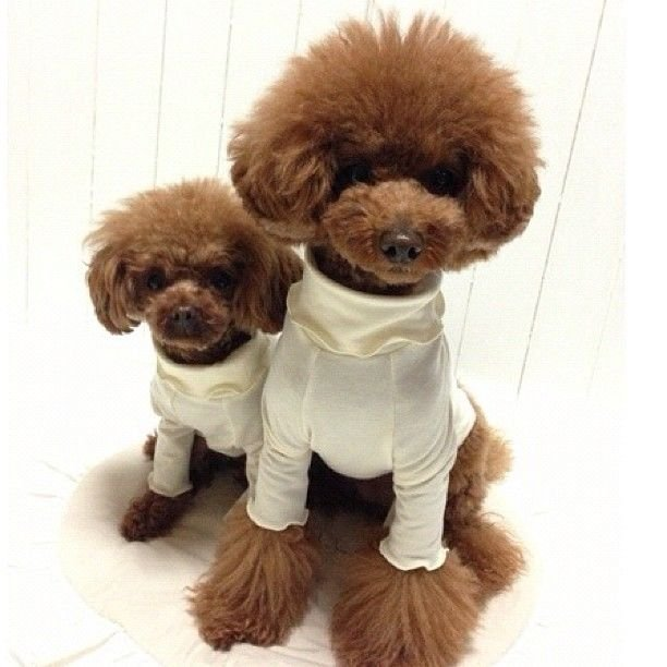 slider_8_-_the_japanese_toy_poodle_movement_that_s_revolutionizing_instagram