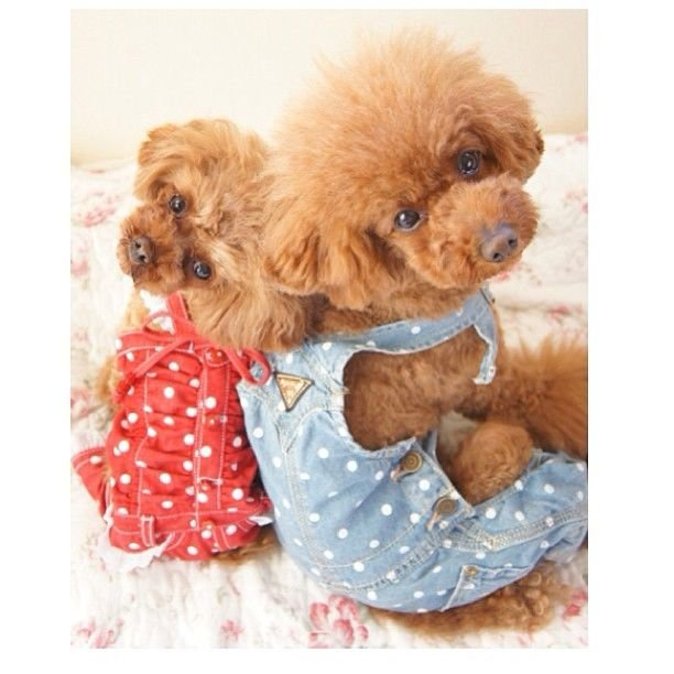 slider_9_-_the_japanese_toy_poodle_movement_that_s_revolutionizing_instagram