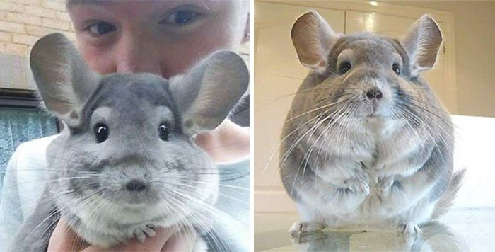 these-perfectly-round-chinchillas-is-the-cutest-thing-youll-see-today-58ad58e777897__700