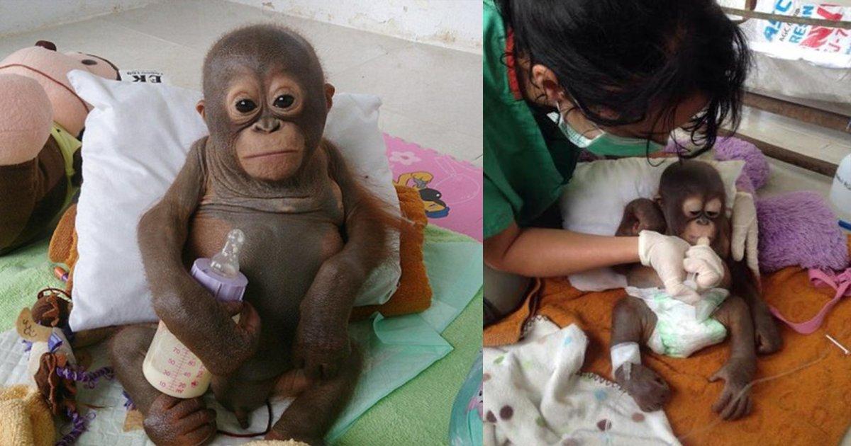 thumbnail5 1.png?resize=412,232 - Orangotango que vivia aprisionado é salvo por veterinários