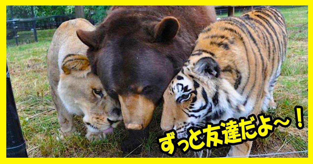 tiger ttl 1.jpg?resize=1200,630 - 【すごい!】クマ・ライオン・トラの猛獣3匹の友情!