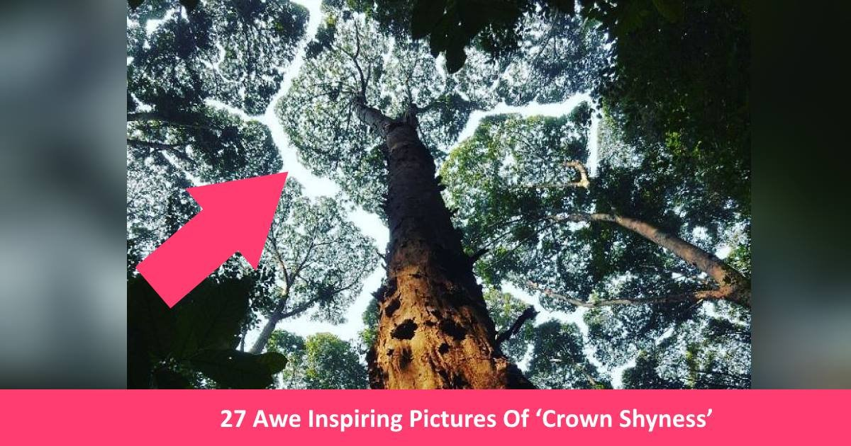 treetops.jpg?resize=300,169 - 27 Awe Inspiring Pictures Of 'Crown Shyness', A Weird Phenomenon In Forests