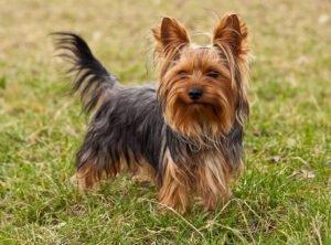 yorkshire-terrier-650x480