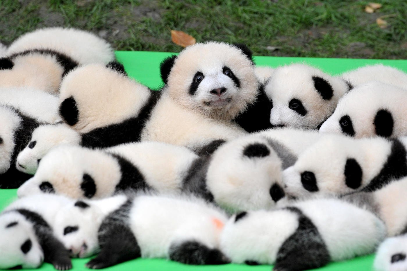 CHENGDU, CHINA - SEPTEMBER 29: 23 giant panda cubs make their debut to the public at Chengdu Research Base of Giant Panda Breeding on September 29, 2016 in Chengdu, China. All the 23 panda cubs were born in the base this year. (Photo by VCG/VCG via Getty Images)