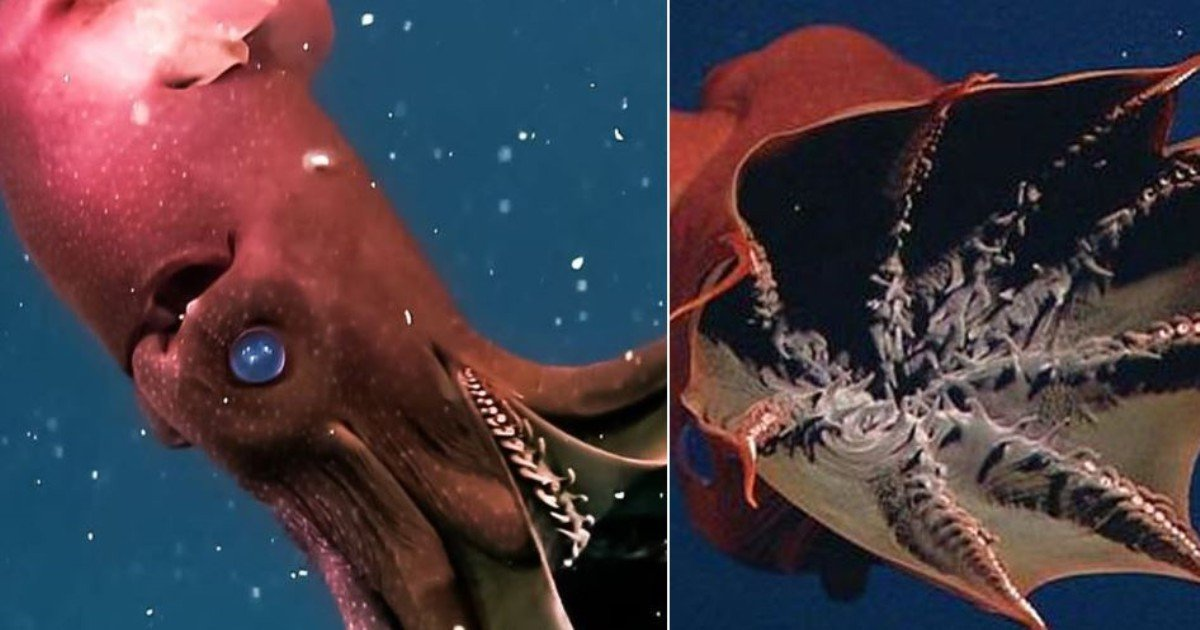 1512719289934730 - 지구상에서 가장 미스터리한 '희귀 오징어'의 정체