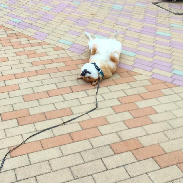 171202 102 - 誰家柴犬掉在路上啦?散步途中耍賴不肯動的日本超萌柴柴