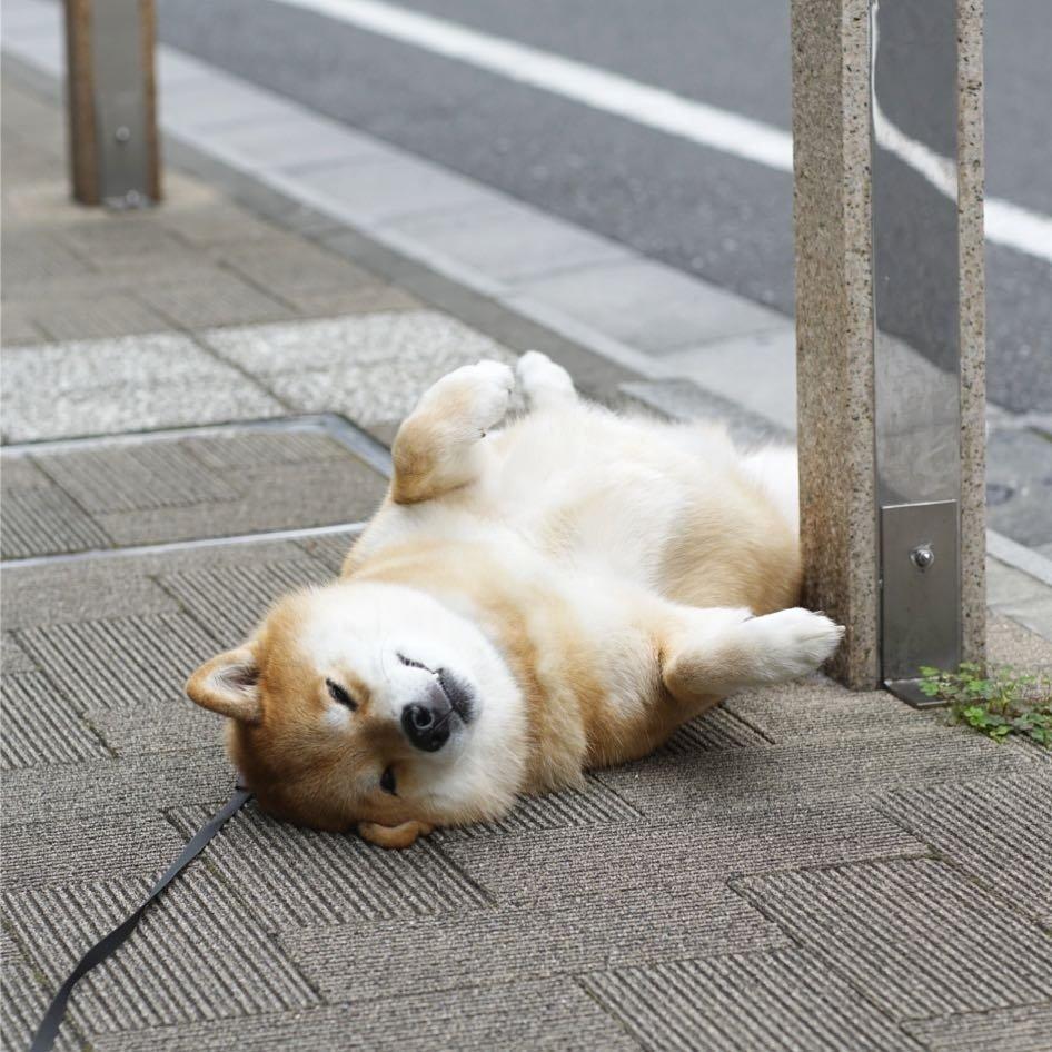 171202 103 - 誰家柴犬掉在路上啦?散步途中耍賴不肯動的日本超萌柴柴