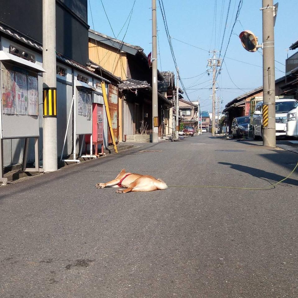 171202 104 - 誰家柴犬掉在路上啦?散步途中耍賴不肯動的日本超萌柴柴