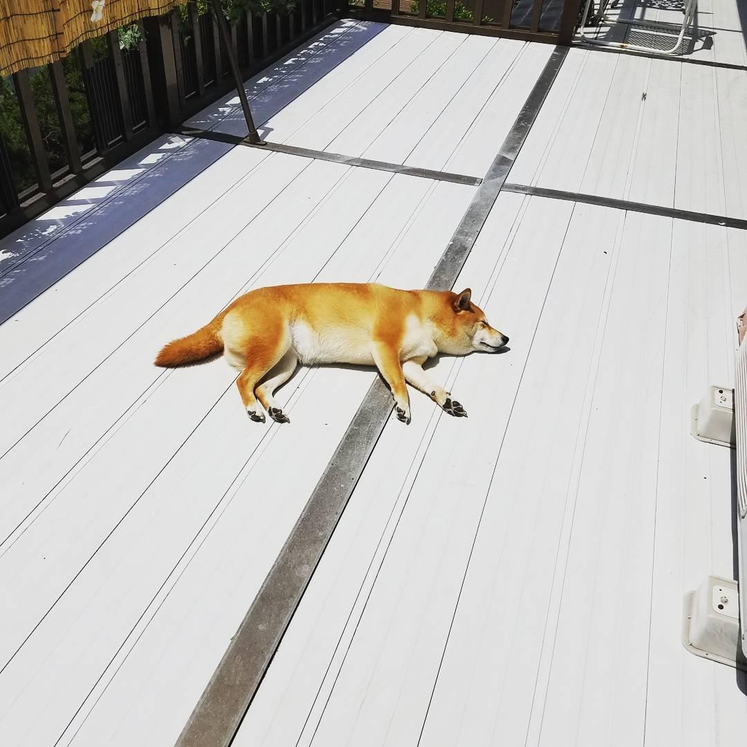 171202 108 - 誰家柴犬掉在路上啦?散步途中耍賴不肯動的日本超萌柴柴