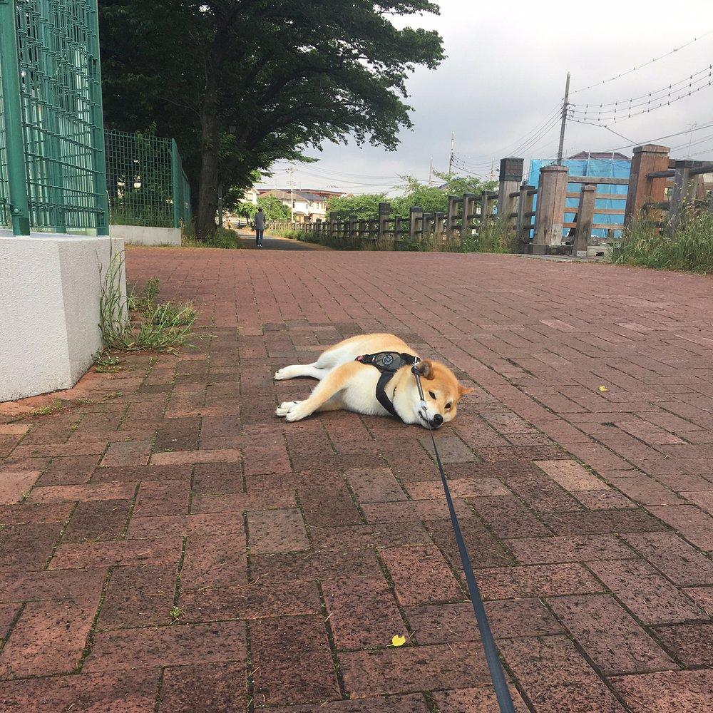 171202 109 - 誰家柴犬掉在路上啦?散步途中耍賴不肯動的日本超萌柴柴