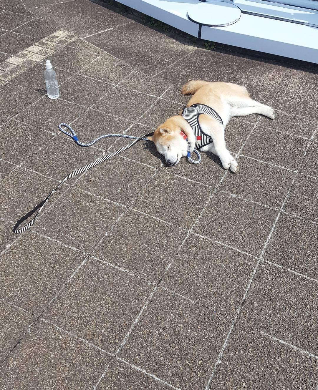 171202 110 - 誰家柴犬掉在路上啦?散步途中耍賴不肯動的日本超萌柴柴