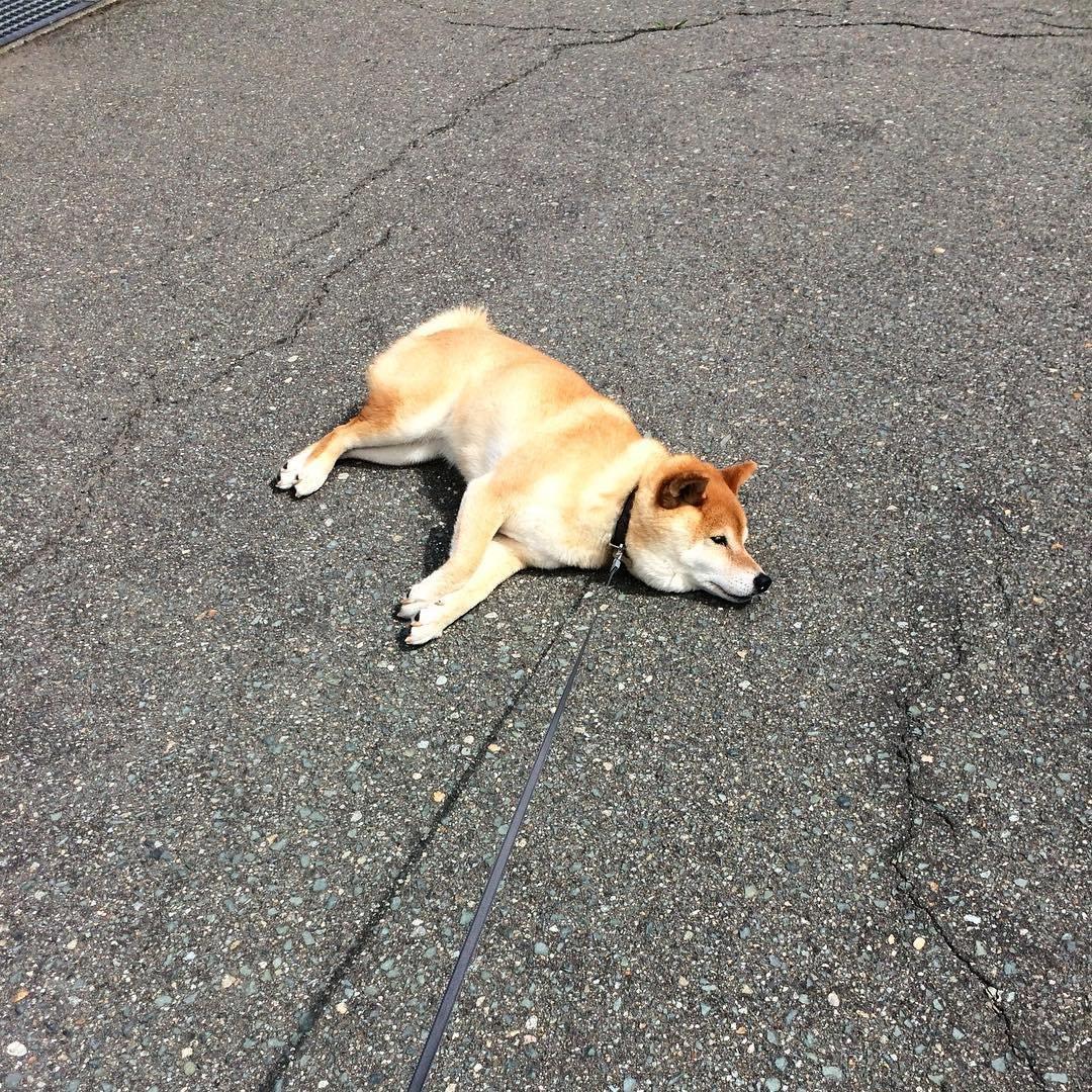 171202 113 - 誰家柴犬掉在路上啦?散步途中耍賴不肯動的日本超萌柴柴