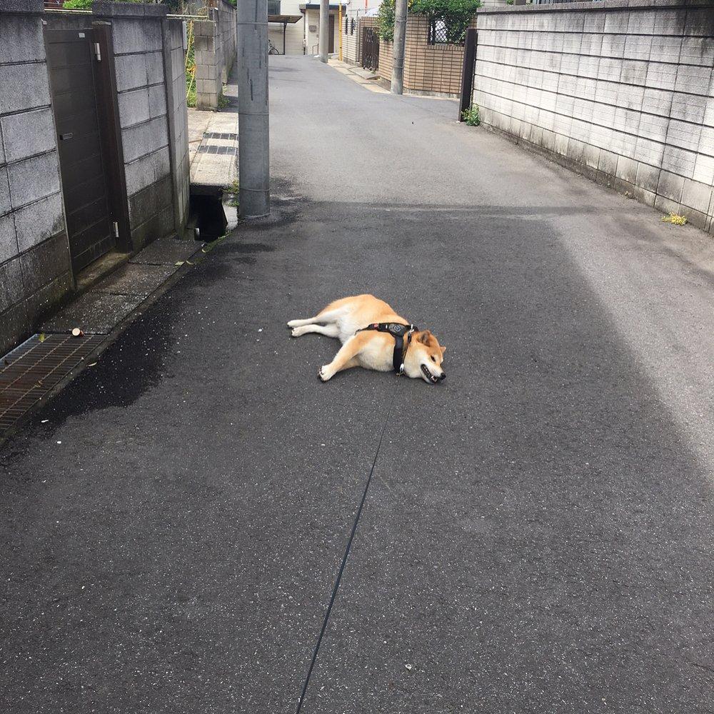 171202 114 - 誰家柴犬掉在路上啦?散步途中耍賴不肯動的日本超萌柴柴