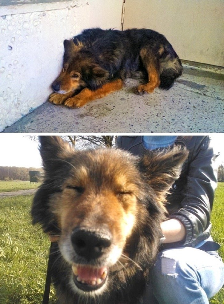 17344810 29645510 497881 9 0 1511210676 1511210680 650 1 1511210680 650 ae8d509ae1 1511939185 2 - 15 conmovedoras fotos de perros antes y después de ser adoptados, su vida cambió completamente.