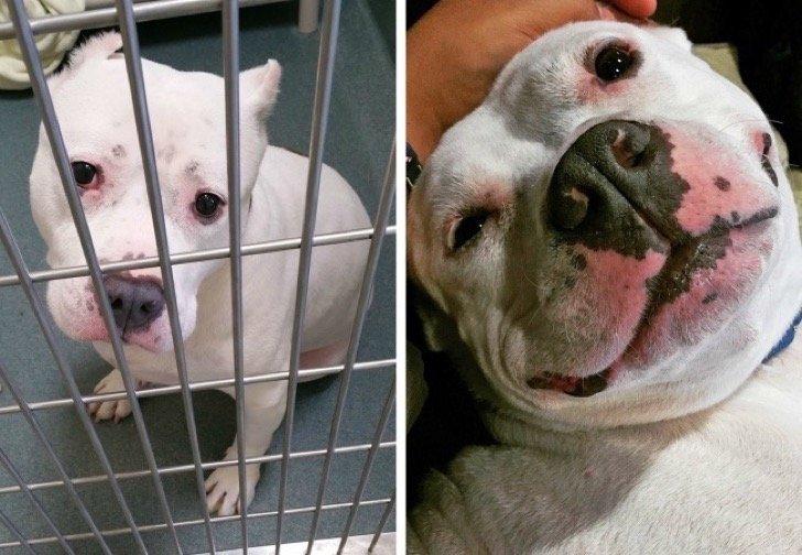 17344910 29645260 497881 7 0 1511210186 1511210191 1500 1 1511210191 650 f57355be25 1511939185 2 - 15 conmovedoras fotos de perros antes y después de ser adoptados, su vida cambió completamente.